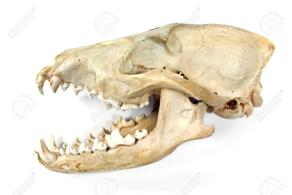 Dog skull and jaw isolated on white