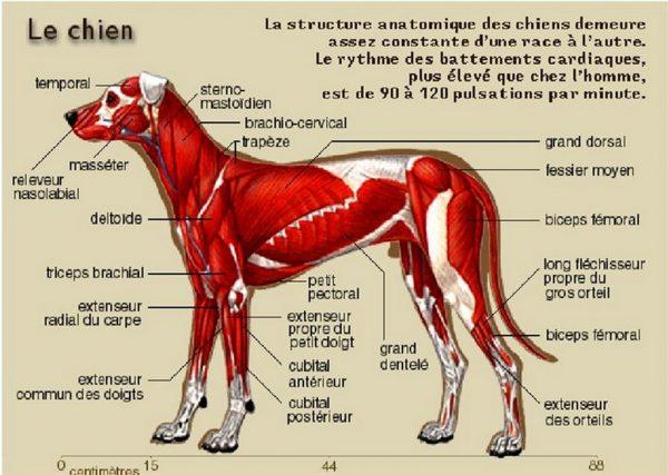 muscle-du-chien-2