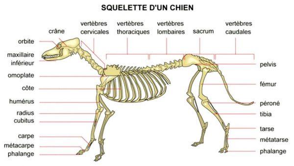 squelette-chien